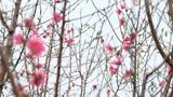 Hà Nội: Đào Nhật Tân nở rực rỡ cận tết Dương lịch
