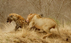 Xem sư tử đực dũng mãnh giải cứu 2 con cái