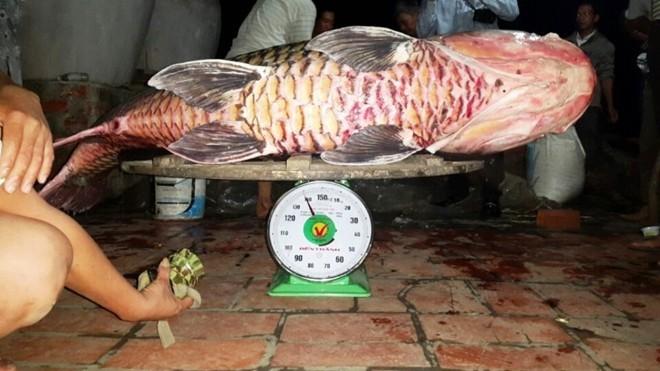 Tranh mua thịt cá hô khổng lồ 4 triệu/kg