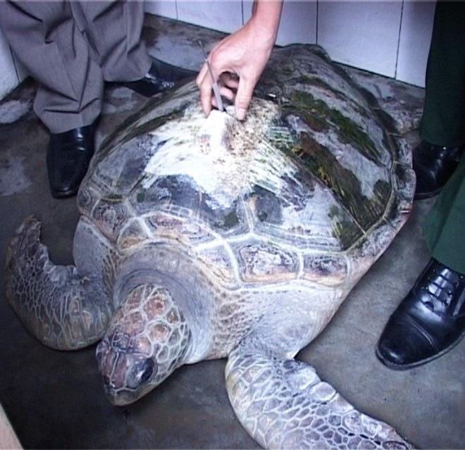 rùa biển, gắn định vị, Trung Quốc, 50kg, ngư dân, bắt được