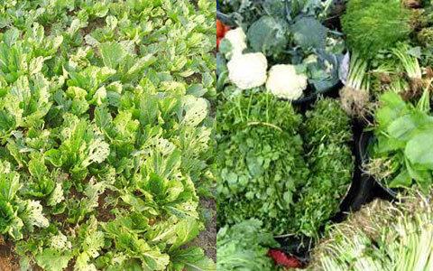 rau sạch, rau bẩn, rau an toàn, rau hữu cơ, siêu thị, nhập nhèm, thuốc sâu, ma trận