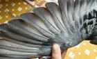 Ngư dân bắt được chim có ký tự lạ trên cánh và chân