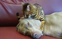 Mèo mát xa đầu, thôi miên chó siêu hài hước