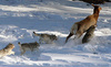Xem sức mạnh kinh hoàng của bầy sói xám