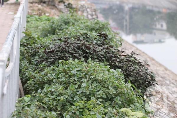 Trồng rau ven sông Tô Lịch: Tự hào đồ sạch của dân Hà Nội