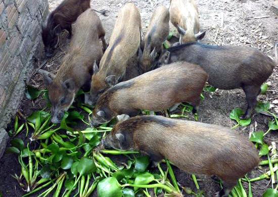 Săn lùng 'ngô kim cương', nuôi lợn rừng đón Tết