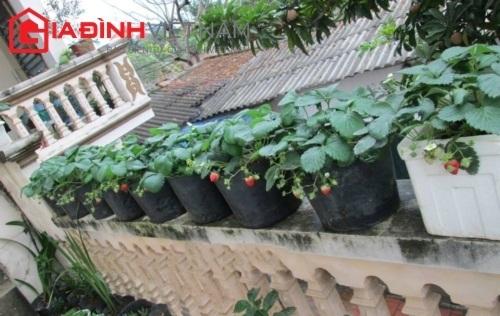 Vườn dâu tây nặng quả trên ban công nhà cao tầng Hà Nội