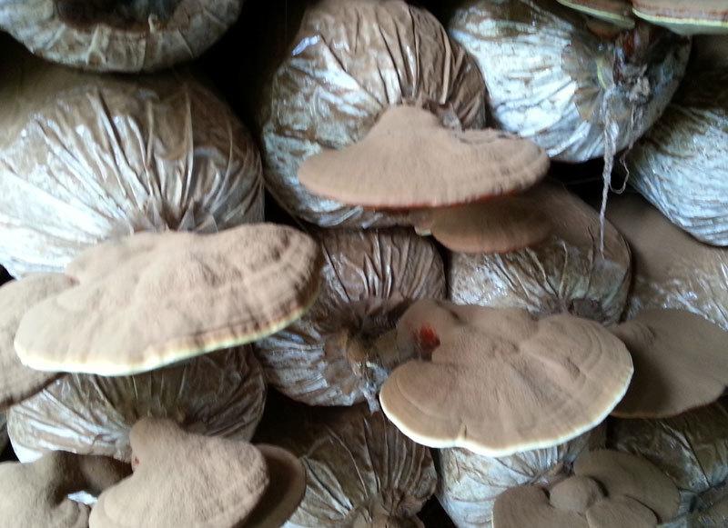 Tận mục 'lò' trồng nấm linh chi kiếm bạc triệu