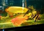 Con cá rồng vàng 24k giá trăm triệu biếu tết