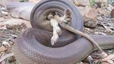 """Xem rắn """"khổng lồ"""" nuốt chửng chuột túi"""