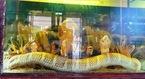 Chuyện kể rắn hổ mang chúa lớn nhất Việt Nam