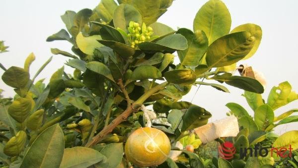 Vườn 'siêu cây' 9 loại quả bạc tỷ của lão nông Hà Nội