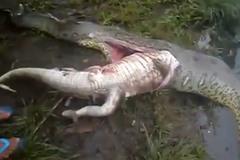 Tâm điểm KH: Rắn 'khổng lồ' nuốt cá sấu bị mổ bụng