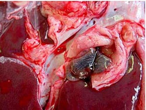 Các loại rau tiếp tay cho sán làm tổ trong cơ thể