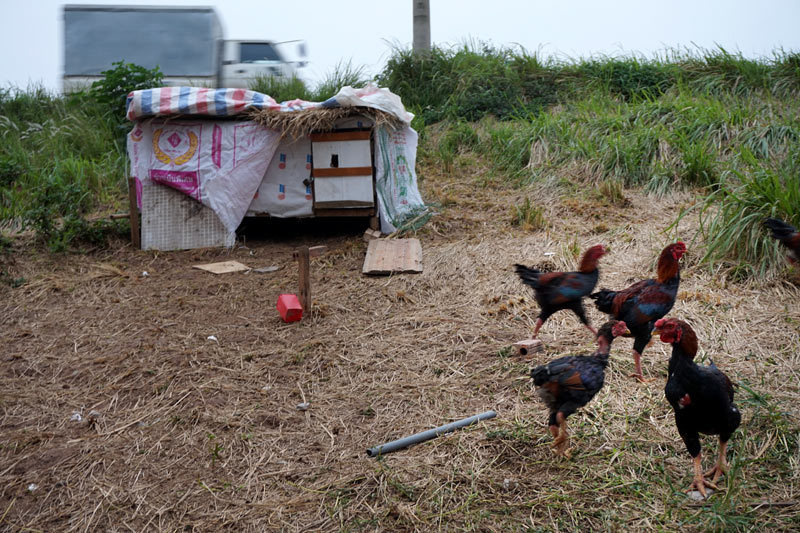 Lạ Hà Nội: Chiếm triền đê nuôi đặc sản gà vườn
