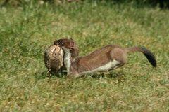 Độc chiêu săn thỏ bằng thôi miên của chồn ecmin