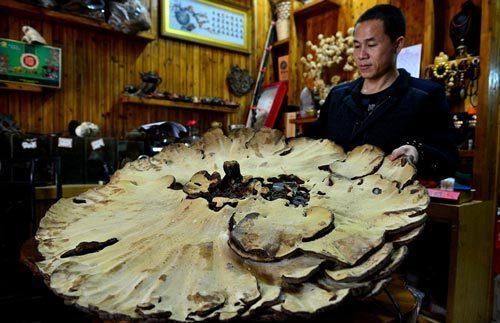 Phát hiện 'nấm bất tử' khổng lồ ở Trung Quốc
