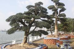 Vườn tùng triệu đô giữa Hà Nội