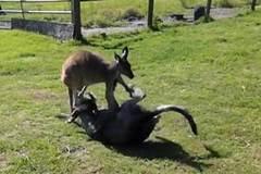 """Xem chó """"đấu vật"""" với kangaroo"""