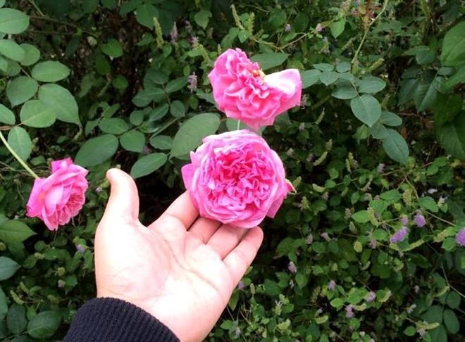 Rộ mốt chơi hồng cổ Sapa: 1 gốc hồng cổ đắt bằng 3 gốc đào
