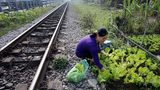 """""""Vườn rau sạch"""" trong hành lang an toàn đường sắt"""