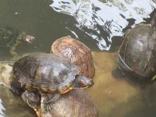 ốc-bươu-vàng, rùa-tai-đỏ, gián-đất, Bác-Ninh, nhập-khẩu, lạc,