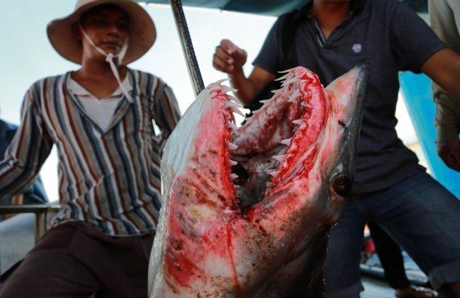 Ra Hoàng Sa câu cá mập bán tiền tỷ