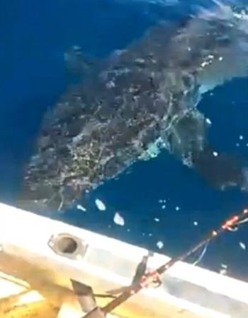Cá mập khổng lồ tấn công ngư dân Australia