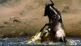 Cá sấu tàn sát đàn linh dương vượt sông