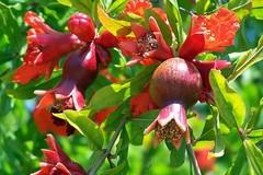 Những loại cây, hoa 'rước lộc' vào nhà ngày Tết