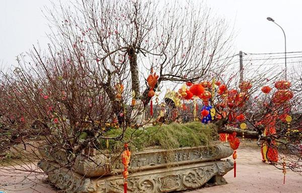 Vườn đào gốc cổ rót tiền tỷ, thu bạc cắc của lão nông Hà Nội