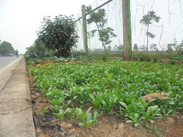 Kỷ lục vườn rau sạch dài cả km ở Hà Nội