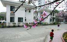 Ngắm hoa anh đào Nhật Bản 'xịn' giữa Hà Nội