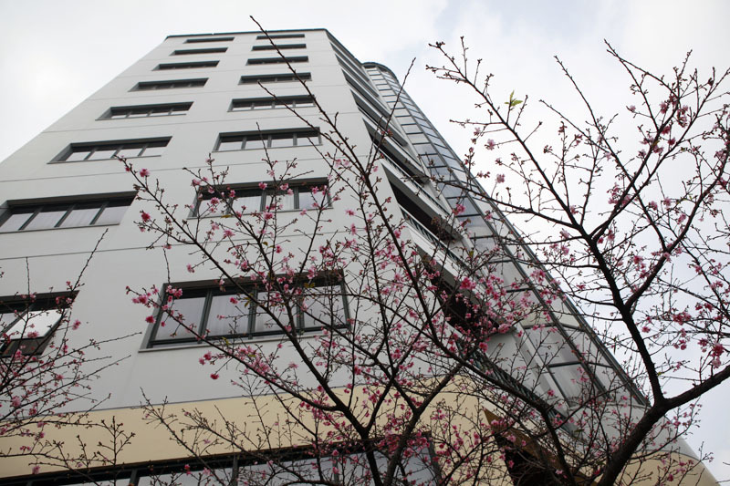 Ngắm hoa anh đào Nhật Bản giữa Hà Nội