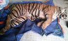 Nghệ An: Phát hiện xác hổ 140kg đang ướp lạnh