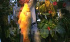Câu được cá chép vàng khổng lồ nặng hơn 10 kg
