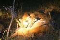 Báo đốm bất lực nhìn 2 linh cẩu cướp mồi