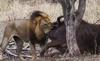Đàn sư tử 'xơi tái' cả 2 mẹ con trâu rừng