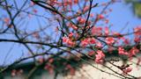 Ngắm hoa anh đào Nhật Bản rực rỡ giữa Thủ đô
