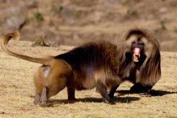 """""""Vua"""" khỉ đầu chó bị hạ bệ vì quá nhiều thê thiếp"""