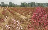 50 - 70 nghìn một cành đào: Người trồng khóc mếu