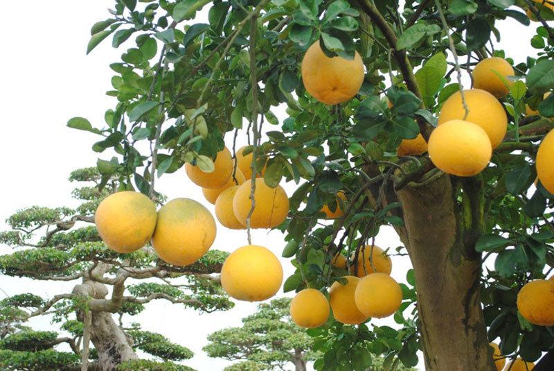 Hình ảnh về cây bưởi trăm triệu hút khách ở Hà Nội
