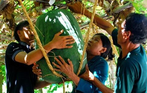 củ, quả, khổng-lồ, bí-đao, chanh, chuối, khoai-mỳ, kỳ-lạ, nông-dân, Việt-Nam, hút-khách