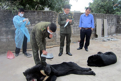Gấu Quảng Ninh chết vì đói, chuyển gấp về Tam Đảo