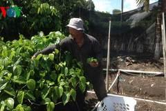 Lão nông Việt và miệt vườn Nam bộ trên đất Mỹ