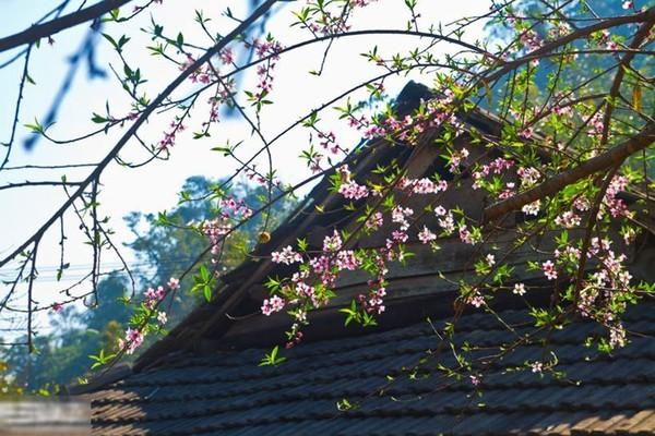 Mộc Châu, hoa mận, mùa hoa