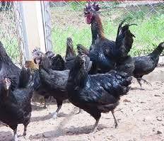 400.000 đồng/kg đặc sản gà Mông đen biếu Tết