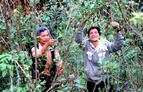 Rừng sâm Ngọc Linh 250 tỷ trên đỉnh trời ngàn mét