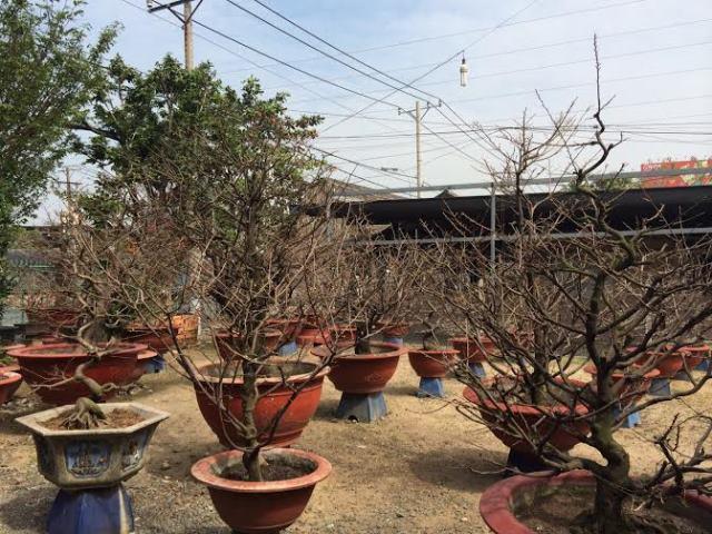Chiêm ngưỡng gốc mai hơn 100 tuổi, giá 650 triệu đồng ở Sài Gòn