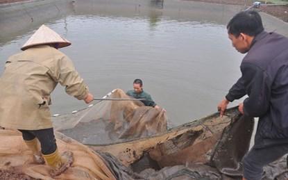 'Thủ phủ' nuôi cá chép đỏ lớn nhất miền Bắc bắt đầu tấp nập